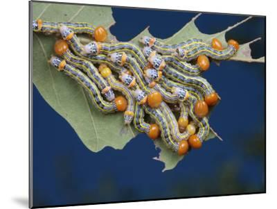 Orange-Humped Oak Worm Caterpillars Feeding on an Oak Tree Leaf-George Grall-Mounted Photographic Print