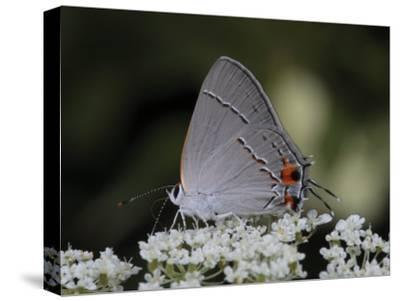 Gray Hairstreak Butterfly Sipping Queen Anne's Lace Nectar-George Grall-Stretched Canvas Print