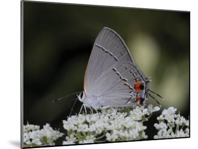 Gray Hairstreak Butterfly Sipping Queen Anne's Lace Nectar-George Grall-Mounted Photographic Print