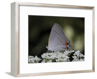 Gray Hairstreak Butterfly Sipping Queen Anne's Lace Nectar-George Grall-Framed Photographic Print
