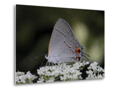 Gray Hairstreak Butterfly Sipping Queen Anne's Lace Nectar-George Grall-Metal Print