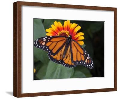 Monarch Butterfly, Danaus Plexippus, on a Flower-George Grall-Framed Photographic Print