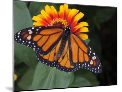 Monarch Butterfly, Danaus Plexippus, on a Flower-George Grall-Mounted Photographic Print