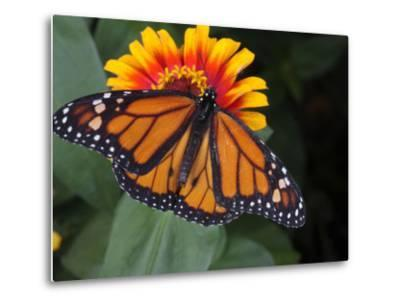 Monarch Butterfly, Danaus Plexippus, on a Flower-George Grall-Metal Print