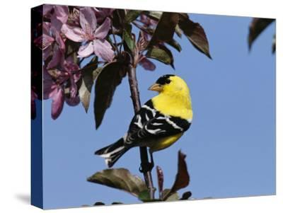 American Goldfinch Perched on a Flowering Tree Branch-George Grall-Stretched Canvas Print