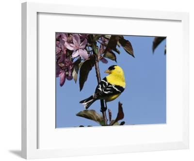 American Goldfinch Perched on a Flowering Tree Branch-George Grall-Framed Photographic Print