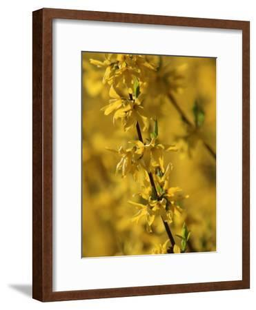 Close-up of a Forsythia Branch in Bloom-Joe Petersburger-Framed Photographic Print