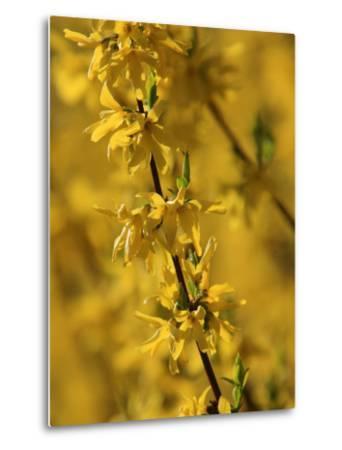 Close-up of a Forsythia Branch in Bloom-Joe Petersburger-Metal Print