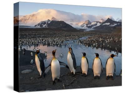 Some of the 100,000 Nesting Pairs of King Penguins in St. Andrews Bay-Joel Sartore-Stretched Canvas Print