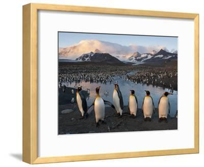 Some of the 100,000 Nesting Pairs of King Penguins in St. Andrews Bay-Joel Sartore-Framed Photographic Print