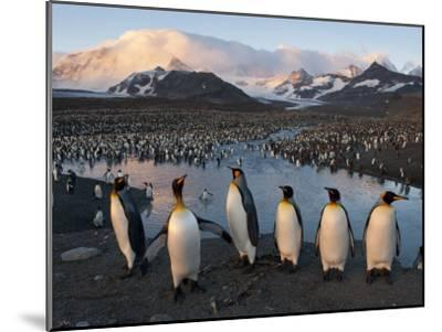 Some of the 100,000 Nesting Pairs of King Penguins in St. Andrews Bay-Joel Sartore-Mounted Photographic Print