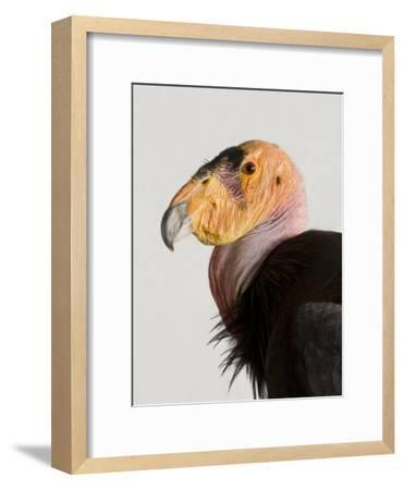 Critically Endangered California Condor, Gymnogyps Californianus-Joel Sartore-Framed Photographic Print