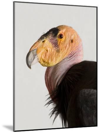 Critically Endangered California Condor, Gymnogyps Californianus-Joel Sartore-Mounted Photographic Print