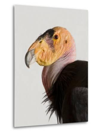 Critically Endangered California Condor, Gymnogyps Californianus-Joel Sartore-Metal Print