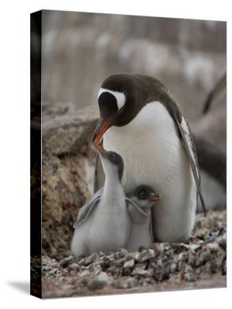 Gentoo Penguin, Pygoscelis Papua, and Chicks at Port Lockroy-Joel Sartore-Stretched Canvas Print