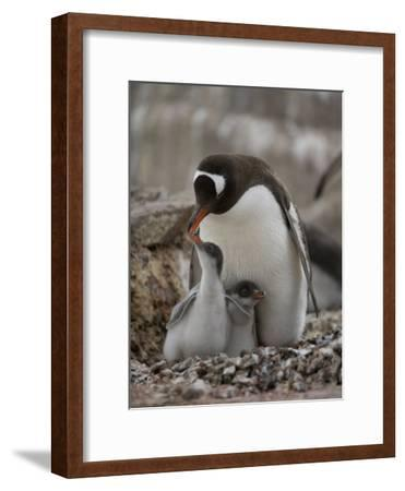 Gentoo Penguin, Pygoscelis Papua, and Chicks at Port Lockroy-Joel Sartore-Framed Photographic Print