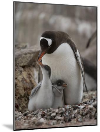 Gentoo Penguin, Pygoscelis Papua, and Chicks at Port Lockroy-Joel Sartore-Mounted Photographic Print