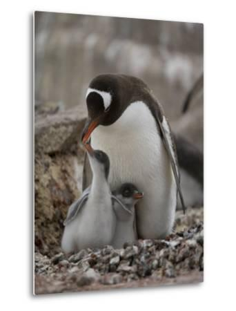 Gentoo Penguin, Pygoscelis Papua, and Chicks at Port Lockroy-Joel Sartore-Metal Print
