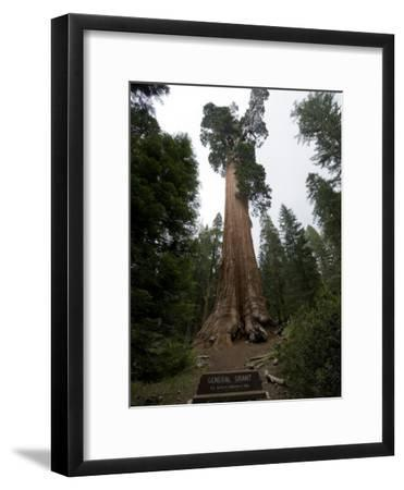 Grant Grove of Redwood Trees in King's Canyon National Park-Joel Sartore-Framed Photographic Print