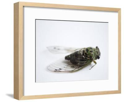 Annual Cicada or Dog-Day Cicada, Tibicen Canicularis-Joel Sartore-Framed Photographic Print