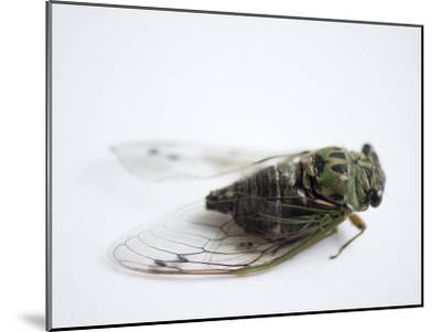 Annual Cicada or Dog-Day Cicada, Tibicen Canicularis-Joel Sartore-Mounted Photographic Print