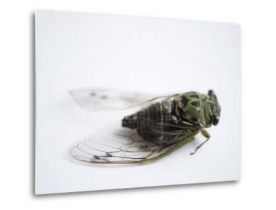 Annual Cicada or Dog-Day Cicada, Tibicen Canicularis-Joel Sartore-Metal Print