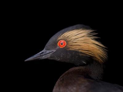 Black-Necked Grebe, Podiceps Nigricollis-Joel Sartore-Framed Photographic Print