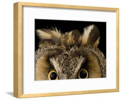 Close-up of the Eyes and Ears of a Long-Eared Owl, Asio Otus-Joel Sartore-Framed Photographic Print