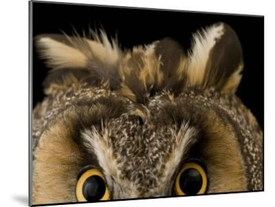 Close-up of the Eyes and Ears of a Long-Eared Owl, Asio Otus-Joel Sartore-Mounted Photographic Print