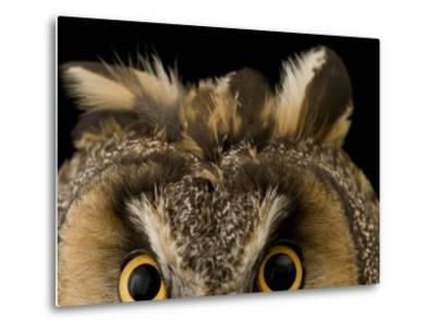 Close-up of the Eyes and Ears of a Long-Eared Owl, Asio Otus-Joel Sartore-Metal Print