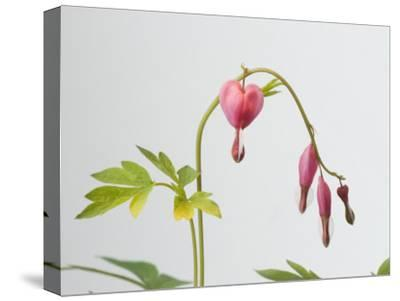 Common Bleeding Heart Flowers, Dicentra Spectabilis-Joel Sartore-Stretched Canvas Print