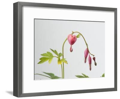 Common Bleeding Heart Flowers, Dicentra Spectabilis-Joel Sartore-Framed Photographic Print