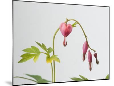 Common Bleeding Heart Flowers, Dicentra Spectabilis-Joel Sartore-Mounted Photographic Print