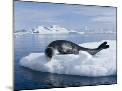 Resting Leopard Seal, Hydrurga Leptonyx, Off Danco Island-Joel Sartore-Mounted Photographic Print