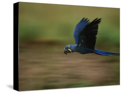 Hyacinth Macaw in Flight-Joel Sartore-Stretched Canvas Print