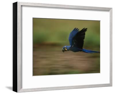 Hyacinth Macaw in Flight-Joel Sartore-Framed Photographic Print
