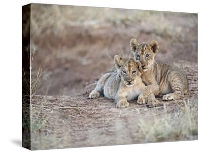 Two African Lion Cubs, Arm in Arm, as They Play in Kenya-Mark C. Ross-Stretched Canvas Print