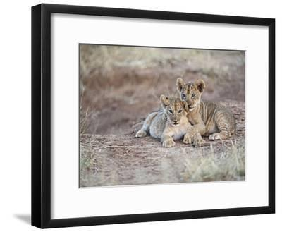 Two African Lion Cubs, Arm in Arm, as They Play in Kenya-Mark C. Ross-Framed Photographic Print