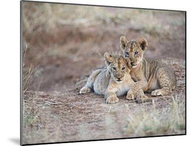 Two African Lion Cubs, Arm in Arm, as They Play in Kenya-Mark C. Ross-Mounted Photographic Print