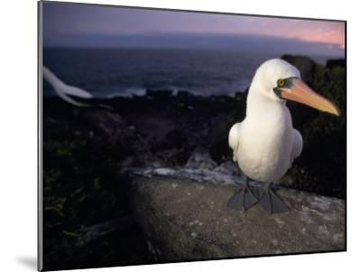 Masked Booby, Sula Dactylatra, Perched on a Rock at Twilight-Mattias Klum-Mounted Photographic Print