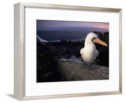 Masked Booby, Sula Dactylatra, Perched on a Rock at Twilight-Mattias Klum-Framed Photographic Print