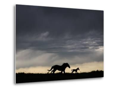 Wild Horse and Foal Running Free in a Mustang and Burro Sanctuary-Melissa Farlow-Metal Print