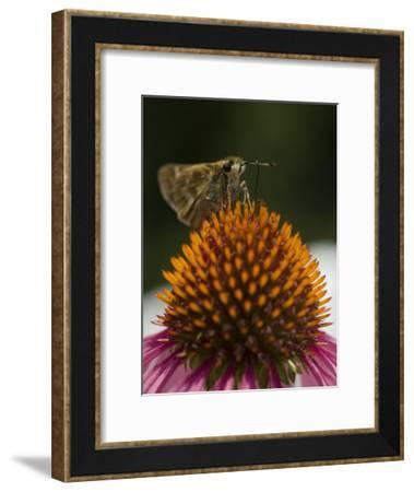 Skipper Butterfly Sipping Nectar from a Purple Coneflower-Paul Sutherland-Framed Photographic Print