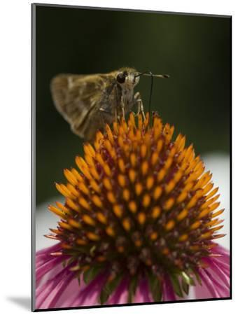 Skipper Butterfly Sipping Nectar from a Purple Coneflower-Paul Sutherland-Mounted Photographic Print