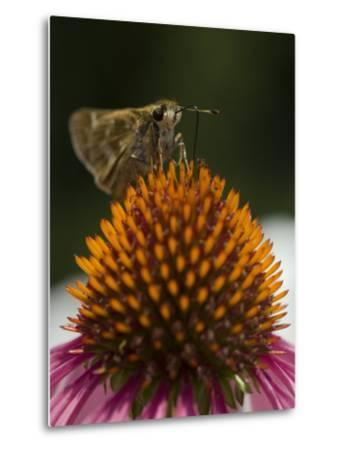 Skipper Butterfly Sipping Nectar from a Purple Coneflower-Paul Sutherland-Metal Print