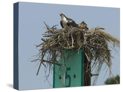Osprey and Chick in Nest Atop a Boating Channel Marker-Paul Sutherland-Stretched Canvas Print