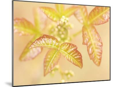 Poison Oak Plants Grow Near the Merced River in Spring in Yosemite-Phil Schermeister-Mounted Photographic Print