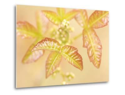 Poison Oak Plants Grow Near the Merced River in Spring in Yosemite-Phil Schermeister-Metal Print