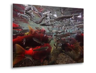 Spawning Salmon Dominate Traffic in the Ozernaya River-Randy Olson-Metal Print