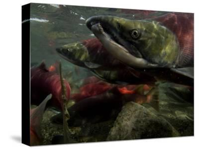 Spawning Salmon Dominate Traffic in the Ozernaya River-Randy Olson-Stretched Canvas Print